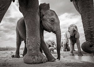 Black and white image of African elephant (Loxodonta africana) calf by adults legs, Tsavo Conservation Area, Kenya. Taken with a remote camera buggy / BeetleCam. Editorial use only. - Will Burrard-Lucas