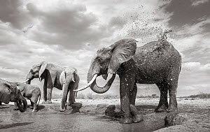 Black and white image of African elephant (Loxodonta africana) herd at waterhole with one bathing,Tsavo Conservation Area, Kenya. Taken with a remote camera buggy / BeetleCam. Editorial use only. Othe...  -  Will Burrard-Lucas