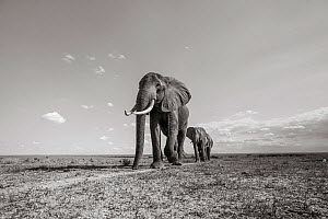 Black and white image of African elephant (Loxodonta africana) group walking in line, Tsavo Conservation Area, Kenya. Editorial use only. Other uses need clearance. - Will Burrard-Lucas