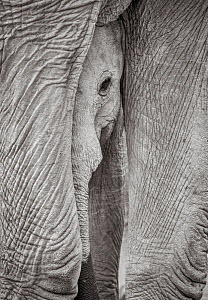 Black and white image of African elephant (Loxodonta africana) calf loking out between legs of adult, Tsavo Conservation Area, Kenya. Editorial use only. Other uses need clearance. - Will Burrard-Lucas