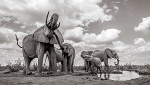 Black and white image of African elephant (Loxodonta africana) herd with calves at waterhole, Tsavo Conservation Area, Kenya. Taken with a remote camera buggy / BeetleCam. Editorial use only. Other us... - Will Burrard-Lucas