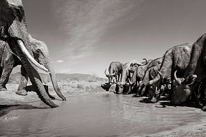 Black and white image of African elephant (Loxodonta africana) at waterhole with African buffalo (Syncerus caffer) Tsavo Conservation Area, Kenya. Taken with a remote camera buggy / BeetleCam. Editori... - Will Burrard-Lucas