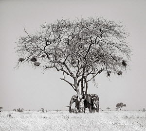 Black and white image of African elephant (Loxodonta africana) two resting under shade of a tree, Tsavo Conservation Area, Kenya. Editorial use only. Other uses need clearance. - Will Burrard-Lucas