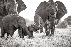Black and white image of African elephant (Loxodonta africana) herd, tuskless female eating with calves nearby, Tsavo Conservation Area, Kenya. Taken with a remote camera buggy / BeetleCam. Editorial...  -  Will Burrard-Lucas