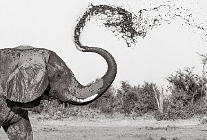 Black and white image of African elephant (Loxodonta africana) mud bathing, Tsavo Conservation Area, Kenya. Editorial use only. Other uses need clearance.  -  Will Burrard-Lucas