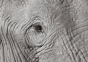 Black and white image of African elephant (Loxodonta africana) close up of eye, Tsavo Conservation Area, Kenya. Editorial use only. Other uses need clearance. - Will Burrard-Lucas