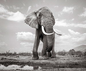Black and white image of African elephant (Loxodonta africana) bull, Tsavo Conservation Area, Kenya. Taken with a remote camera buggy / BeetleCam. Editorial use only. Other uses need clearance.  -  Will Burrard-Lucas