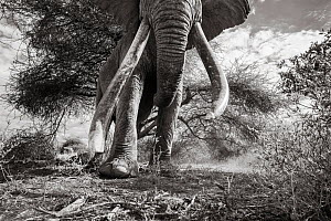 Black and white image of African elephant (Loxodonta africana) low angle view of bull's large tusks,Tsavo Conservation Area, Kenya. Taken with a remote camera buggy / BeetleCam. Editorial use only... - Will Burrard-Lucas