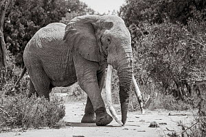 Black and white image of African elephant (Loxodonta africana) bull with large tusks, Tsavo Conservation Area, Kenya. Editorial use only. Other uses need clearance.  -  Will Burrard-Lucas