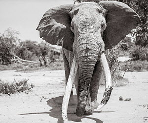 Black and white image of African elephant (Loxodonta africana) bull with large tusks, Tsavo Conservation Area, Kenya. Taken with a remote camera buggy / BeetleCam. Editorial use only. Other uses need...  -  Will Burrard-Lucas