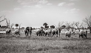 Black and white image of African elephant (Loxodonta africana) herd, Tsavo Conservation Area, Kenya. Editorial use only. Other uses need clearance.  -  Will Burrard-Lucas