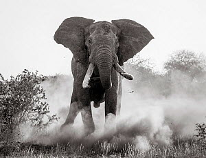 Black and white image of African elephant (Loxodonta africana) bull charging, Tsavo Conservation Area, Kenya. Taken with a remote camera buggy / BeetleCam. Editorial use only. Other uses need clearanc... - Will Burrard-Lucas