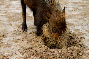 Bearded pig (Sus barbatus) digging in sand, foraging for crabs on beach, Bako National Park, Sarawak, Borneo - Paul Williams