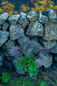 Aeonium growing in wall, Lanzarote Island, Canary Islands. December 2018. - Juan  Carlos Munoz