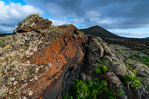 Lava field with lichen and aeoniums, La Geria, Lanzarote Island, Canary Islands. December 2018. - Juan  Carlos Munoz