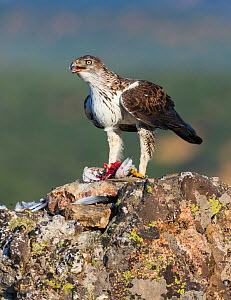 Bonelli's eagle (Aquila fasciata) feeding on bird prey, Sierra de San Pedro, Extremadura, Spain. September.  -  Juan  Carlos Munoz