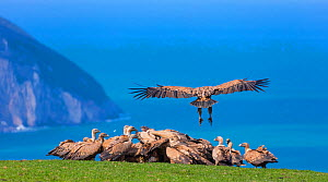 Griffon vulture (Gyps fulvus) landing on coast next to flock. Cantabria, Spain, March.  -  Juan  Carlos Munoz