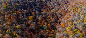 Aerial view of Beech forest (Fagus sp) Ermita de Irias, San Pedro de Soba, Soba Valley, Cantabria, Spain. November.  -  Juan  Carlos Munoz