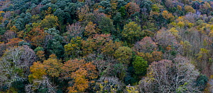 Aerial view of canopy of evergreen Holm Oak (Quercus ilex) forest, with other deciduous oak species. Tarrueza, Liendo Valley, Cantabria, Spain, December - Juan  Carlos Munoz