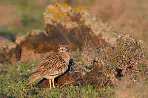 Stone curlew (Burhinus oedicnemus) standing among volcanic rocks in steppe scrubland at dawn, Teguise Plain, Lanzarote, Canary Islands, February. - Nick Upton