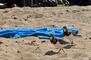 Two Ruddy turnstones (Arenaria interpres) foraging on a sandy beach close to beach toweels and tourists, Costa de Papagayo, Lanzarote, Canary Islands, February. - Nick Upton