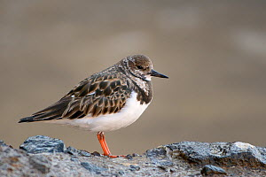 Ruddy turnstone (Arenaria interpres) roosting on volcanic rock behind a beach at high tide, Costa de Papagayo, Lanzarote, Canary Islands, February. - Nick Upton