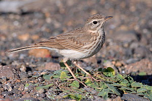 Berthelot's pipit (Anthus berthelotii berthelotii), endemic to Atlantic islands, foraging on a volcanic beach, Lanzarote, Canary Islands, February.  -  Nick Upton