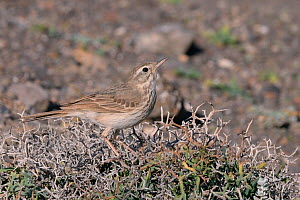 Berthelot's pipit (Anthus berthelotii berthelotii), endemic to Atlantic islands, perched in a spiny bush, Lanzarote, Canary Islands, February.  -  Nick Upton