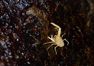 Blind albino cave crab / Squat lobster (Munidopsis polymorpha), a species endemic to Lanzarote, grazing on rocks at the water's edge in a lava tube flooded with seawater, Jameos del Agua, Lanzarot... - Nick Upton
