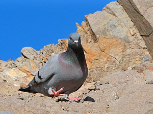 Wild rock dove / Rock pigeon (Columba livia) walking on coastal cliff, Costa de Papagayo, Lanzarote, Canary Islands, February. - Nick Upton