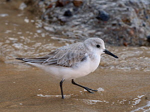 Sanderling (Calidris alba) foraging on a wave-washed sandy beach, Costa de Papagayo, Lanzarote, Canary Islands, February.  -  Nick Upton