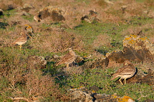 Stone curlews (Burhinus oedicnemus) group of four standing among volcanic rocks in steppe scrubland at dawn, Teguise Plain, Lanzarote, Canary Islands, February. - Nick Upton