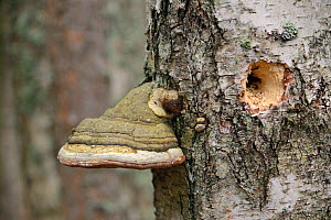 Horse's hoof / Tinder fungus (Fomes fomentarius) growing on a rotten Downy birch (Betula pubescens) tree trunk which a woodpecker has drilled a hole into, Muraka Forest reserve, Estonia, April - Nick Upton