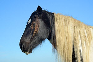 Welsh cob (Equus caballus) head and shoulders, Llanrhidian Marshes, The Gower Peninsula, Wales, UK, October.  -  Nick Upton
