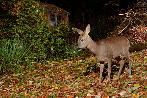 Roe deer (Capreolus capreolus) doe standing in garden near shed at night, Wiltshire, UK, October. Photographed with remote camera trap.  -  Nick Upton