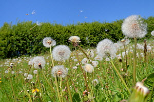 Dandelion (Taraxacum officinale) seeds dispersing on the wind in hay meadow, Wiltshire, UK, May. - Nick Upton
