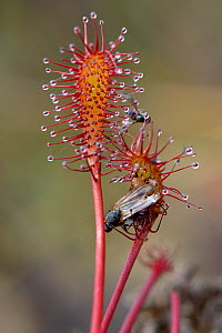 Small flies trapped by the sticky hairs of an Oblong-leaved / Long-leaved sundew (Drosera intermedia), Godlingston Heath, Dorset, UK, July. - Nick Upton