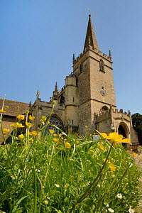 Common buttercups (Ranunculus acris) flowering in churchyard, Lacock, Wiltshire, UK, May. - Nick Upton