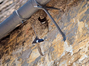 House martin (Delichon urbicum) flying from its mud nest under the eaves of cottage, Lacock, Wiltshire, UK, May.  -  Nick Upton