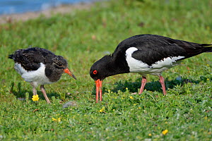 Oystercatcher (Haematopus ostralegus) chick watching and waiting to be fed by parent as it forages for invertebrate food on the grassy margins of lake, Gloucestershire, UK, June. - Nick Upton