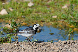 Pied wagtail (Motacilla alba) foraging for aquatic insects on the bank of small stream, Gloucestershire, UK, June.  -  Nick Upton
