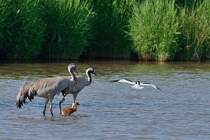 Common / Eurasian crane (Grus grus) pair 'Monty' and 'Sedge' with their young chick, being mobbed by an aggressive Avocet (Recurvirostra avosetta) for approaching too close to its nest...  -  Nick Upton