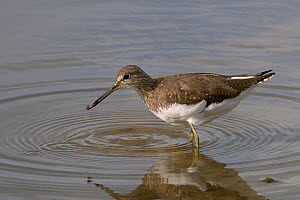 Green sandpiper (Tringa ochropus) with small worm it has caught in shallow freshwater lake, Gloucestershire, UK, August. - Nick Upton