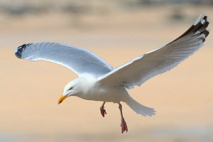 Adult Herring gull (Larus argentatus) flying low over sandy beach, near St. Ives, Cornwall, UK, April.  -  Nick Upton