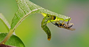Braconid wasp (Braconidae) trying to lay an egg on a Lesser willow sawfly (Nematus pavidus) larva, which pushes the wasp away with its body. Controlled conditions.  -  Kim Taylor