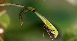 Lesser willow sawfly (Nematus pavidus) larva trying to drive away a parasitic Braconid wasp (Braconidae). Controlled conditions.  -  Kim Taylor