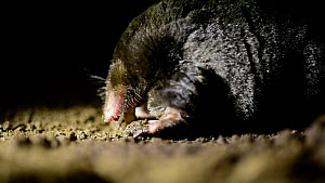Common mole (Talpa europaea) feeding on a grub underground, Germany. Live, captive animal. - Solvin Zankl