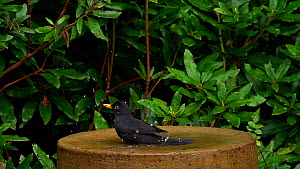 Slow motion clip of a male Common blackbird (Turdus merula) bathing in a birdbath, Surrey, England, UK, October. - Kim Taylor