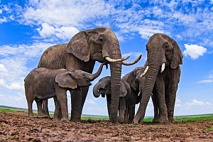 African elephants (Loxodonta africana) at a waterhole - remote camera. Masai Mara National Reserve, Kenya. - Anup Shah