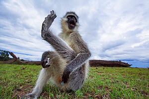Vervet monkey (Cercopithecus aethiops) male scratching itself - remote camera . Masai Mara National Reserve, Kenya.. - Anup Shah